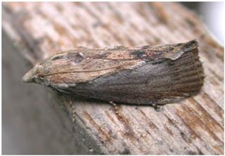 Wax Moth, Llangennech © Kath Pryce