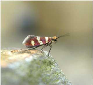 Micopterix aureatella © Jon Baker