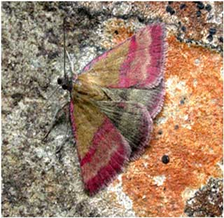 Small Purple-barred (Phytometra viridaria) © Jon Baker
