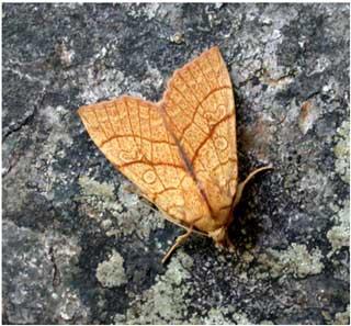 Orange sallow (Xanthia citrago) © Jon Baker