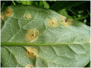 Puccinia  sessilis rust infecting Arum maculatum (Lords and Ladies). Photo: R.N. Stringer
