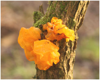 The Yellow Brain on gorse. Photo:  Philip Jones