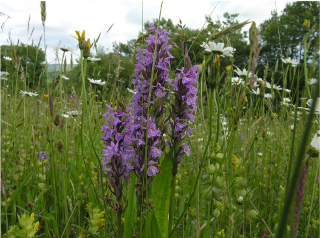 Southern Marsh‐orchid (Dactylorhiza praetermissa) in the 'orchid meadow'. Photo Kath Pryce