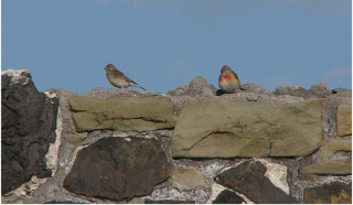 The pair of Linnets seen in the farmyard at the end of the meeting. Photo Richard Pryce